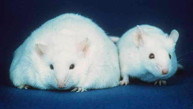 Leptin issues and fat loss