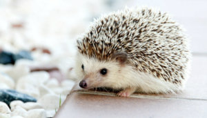 How to Find Fulfillment and Happiness: Identify Your Hedgehog